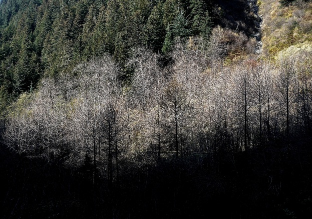 Bare Cottonwoods